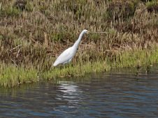 Free Great White Egret 6 Stock Images - 5572234