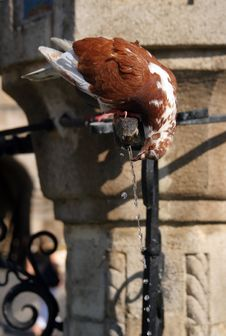 A Drinking Pigeon Royalty Free Stock Photography