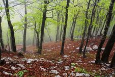 Free Rainy Spring Forest, Velebit, Croatia Royalty Free Stock Images - 5573109