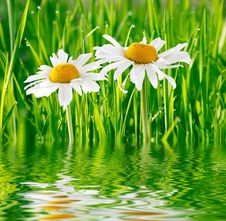 Free Two Daisies On Green Grass Royalty Free Stock Image - 5573326