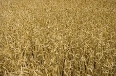 Wheat Field Ready For Harvest Royalty Free Stock Image