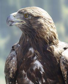 Free Eagle Stock Photography - 5573532