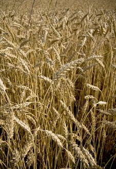 Free Wheat Field Stock Images - 5573634