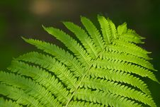 Free Fern Close-up Royalty Free Stock Images - 5573649