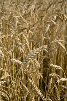 Free Close Up Of Wheat Field Stock Photography - 5573732