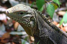 Free A Iguana Look Royalty Free Stock Photos - 5573838