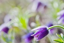 Free Abloom Pasqueflower Stock Photography - 5574132