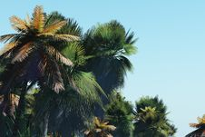 Free Palm Trees On The Tropical Island Stock Photos - 5574493