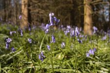 Free Bluebells In Sunny Meadow Stock Photo - 5574860