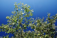 Free Apple Tree Stock Photos - 5574993
