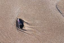 Free Mussel Shell Royalty Free Stock Photos - 5575948