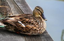 Free Duck Royalty Free Stock Image - 5576026