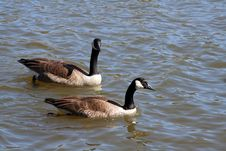 Free Canadian Geese Royalty Free Stock Image - 5576106