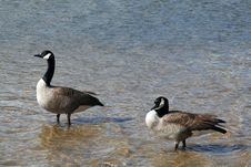 Free Canadian Geese Royalty Free Stock Photography - 5576167