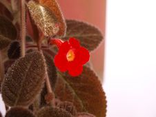 Free Pretty Bright Red Small Flower & Brown Hairy Leave Royalty Free Stock Image - 5578346