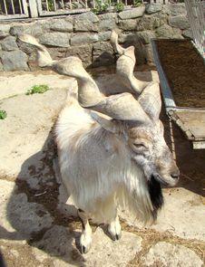 Goat With Twisted Horns Capra Falconeri Stock Photo