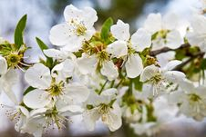 Free Apple Flowers Stock Photo - 5578440