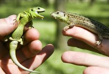 Free Lizard Stock Photography - 5578542