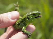 Free Lizard Royalty Free Stock Image - 5578646