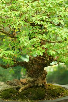 Free Bonsai Tree Royalty Free Stock Photos - 5579508