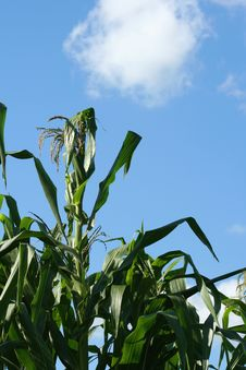 Corn Stalks Against The Sky Royalty Free Stock Image