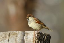 Free Sparrow Stock Image - 55702021