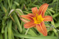 Free Stunning Orange Daylily With Green Background Royalty Free Stock Image - 55733186