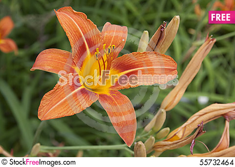 Free Stunning Orange Daylily With Green Background Stock Images - 55732464