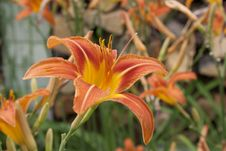 Free Stunning Orange Daylilies Royalty Free Stock Images - 55732489