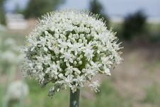Free Brilliant White Leek Flower Stock Image - 55732841