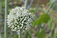 Free Brilliant White Leek Flower Royalty Free Stock Image - 55732886