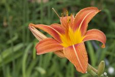 Free Stunning Orange Daylily With Green Background Royalty Free Stock Photo - 55733145