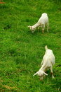 Free Goat Stock Images - 5587684