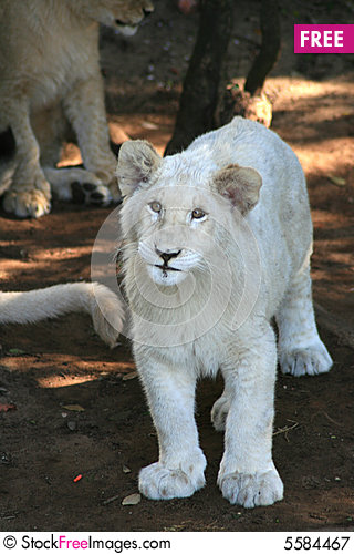 Free Young White Lion Royalty Free Stock Photography - 5584467