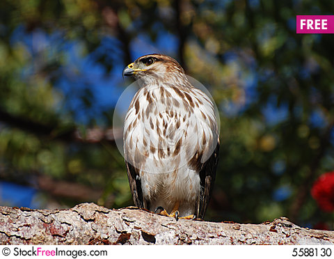 Free Hawk On A Branch Stock Photo - 5588130