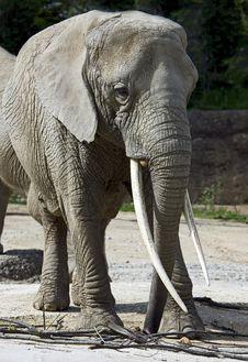 Free Elephant 20 Royalty Free Stock Photo - 5582385