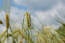 Free Wheat Stock Image - 5583271