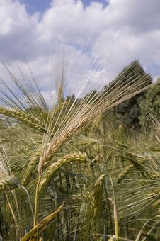 Free Wheat Stock Photography - 5583402