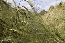 Free Wheat Stock Photos - 5583413