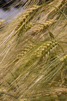 Free Wheat Stock Photos - 5583543
