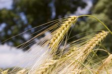 Free Wheat Royalty Free Stock Photography - 5583597