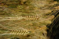 Free Wheat Royalty Free Stock Image - 5583646