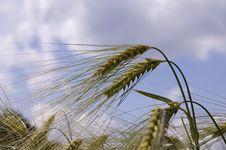 Free Wheat Stock Photography - 5583712