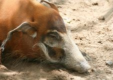 Free Red River Hog Stock Photo - 5584390