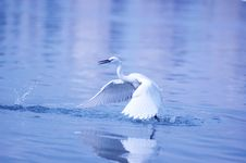 Egret In Flight Stock Images
