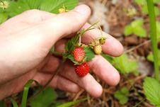 Free Wild Strawberry Royalty Free Stock Photos - 5585778