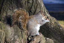 Free Squirrel Examines A Nut Royalty Free Stock Photos - 5587218