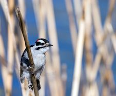 Free Red-naped Sapsuckers On Reed Stock Images - 5587254