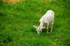 Free Goat Royalty Free Stock Photography - 5587607