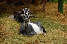Free Goat Stock Photography - 5587692